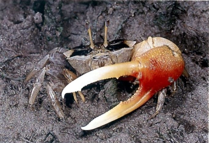 Orange-clawed Fiddler Crab, Uca coarctata