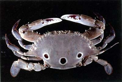 Three-spotted Swimmer Crab (Portunus sanguinolentus)