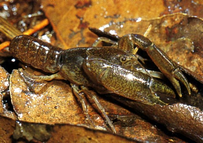 Swamp Crayfish, Tenuibranchiurus glypticus