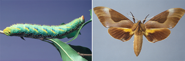 The caterpillar and adult of the Doubleheaded Hawk Moth.