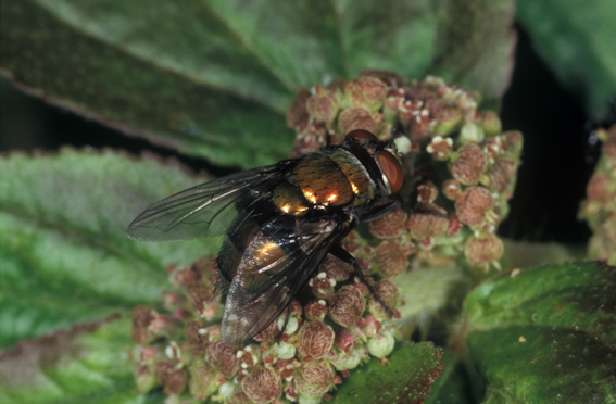 Australian Sheep Blowfly, Lucilia cuprina
