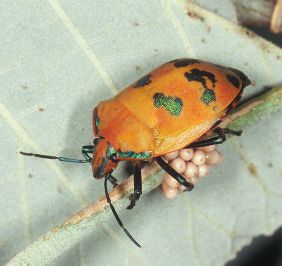 Adult Hibiscus harlequin bug guarding eggs