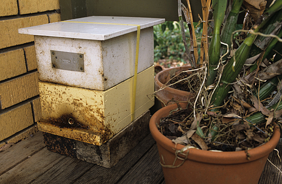 The native stingless bee Trigona carbonaria can be domesticated in artificial hives such as this one. The entrance to the hive is the small round hole near the bottom of the box.