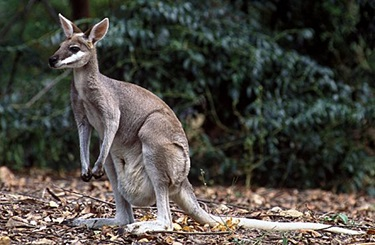 Whiptail Wallaby (Macropus parryi)