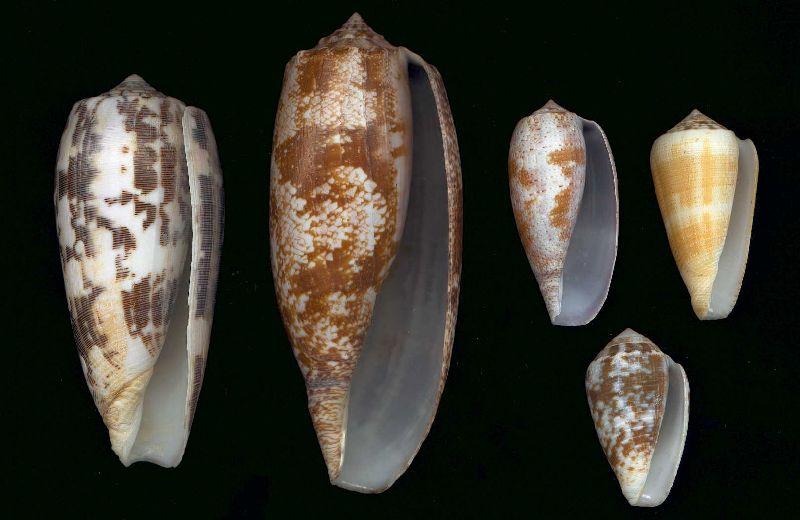 Fish-eating cone species: [left to right] Conus striatus, Conus geographus, Conus tulipa, Conus magus. Bottom right: Conus catus. (Longest specimen shown 130mm)