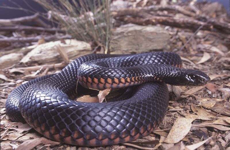 The Red-bellied Black Snake is an inhabitant of coastal swamps and waterways.