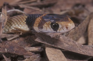 Characteristic head markings of a juvenile Eastern Brown Snake.