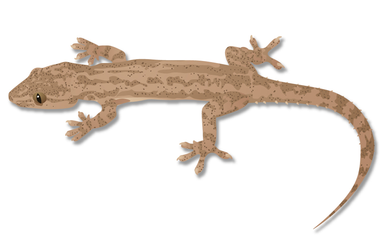 Asian House Gecko illustration