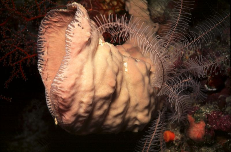 Trumpet sponge Cribrochalina vasiformis with a crinoid echinoderm feather star as a 'sponge hotel' guest.
