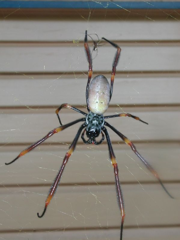 The female Golden Orb Weaver, Nephila edulis
