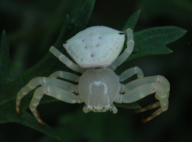 White Crab Spider, Thomisidae, Thomisus spectabilis, female