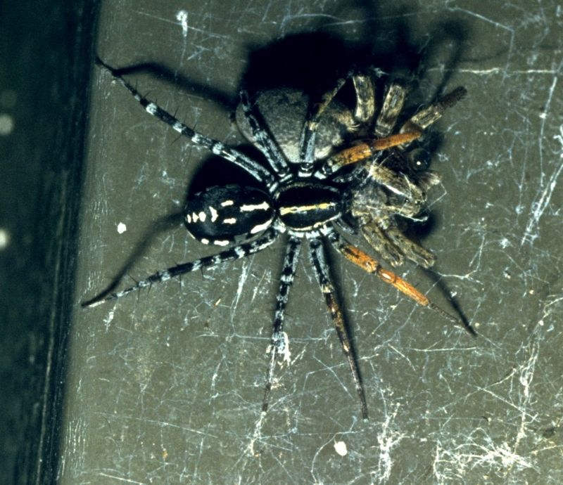 Orange-legged Swift spider, Corinnidae, Supunna picta, female eating another spider
