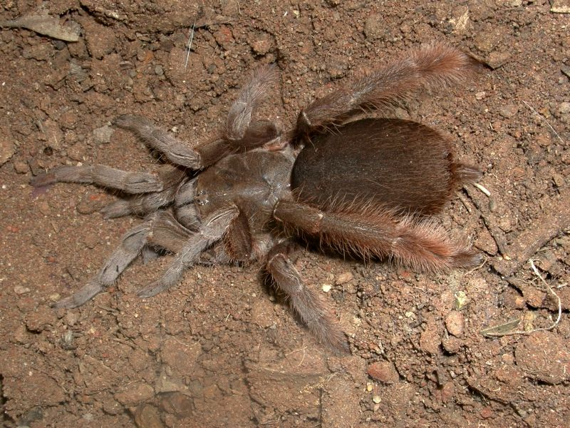 North Queensland Tarantula, Theraphosidae, Phlogius crassipes, adult female