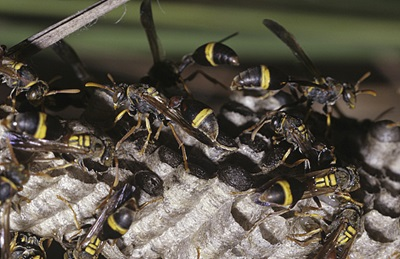 Paper wasps like, Ropalidia impetuosa, are social insects that live in colonies that they vigorously defend with painful stings.