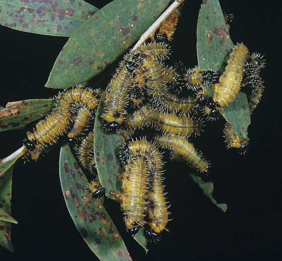 Sawfly larvae feeding on leaves