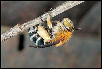 Blue-banded bee, Amegilla sp.