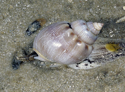 Coronate Dog Whelk (Nassarius coronatus)