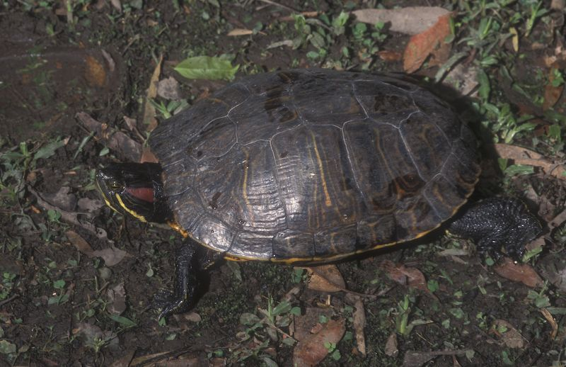 Adult Red-eared Slider.