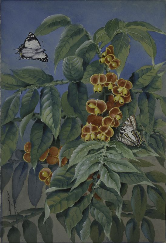 Harpullia alata with two Tailed Emperor Butterflies. Watercolour and gouache by Ellis Rowan, 1911.