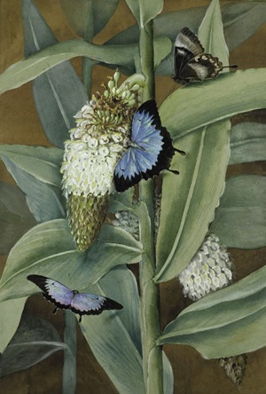 Alpinia racemigera with Ulysses Butterflies, Papilio ulysses Linnaeus. Watercolour and gouache by Ellis Rowan, 1911.
