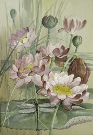 Giant Waterlily, Nymphaea pubescens, with a Giant Petaltail dragonfly, Petalura ingentissima. Watercolour and gouache by Ellis Rowan, 1911.
