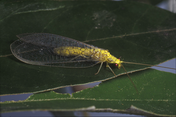 Green Lacewing (Italochrysa insignis)