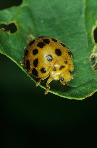 Adult Twenty Eight Spotted Lady Beetle, Henosepilachna vigintioctopunctata (Coccinellidae)