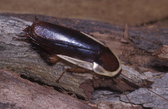 Bush Cockroach, Methana marginalis