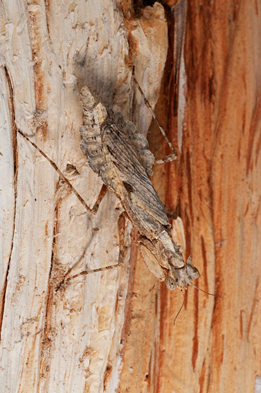 Mantid on a tree trunk